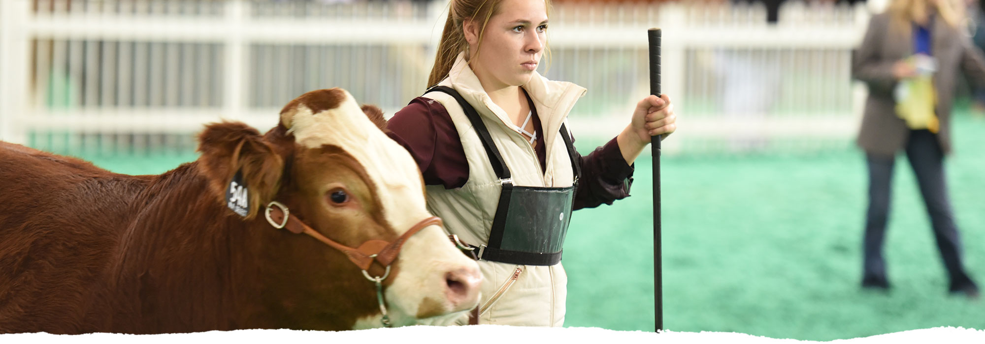 A young girl leads a cattle during a competition.