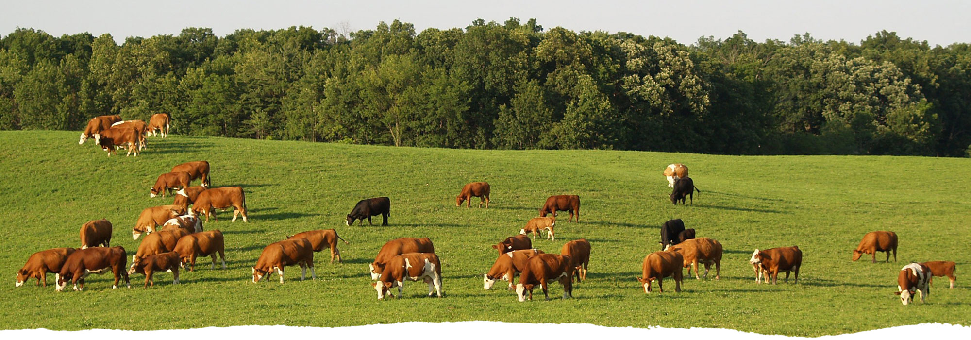 A herd of cattle roaming the grass at Freedom Run Farm.
