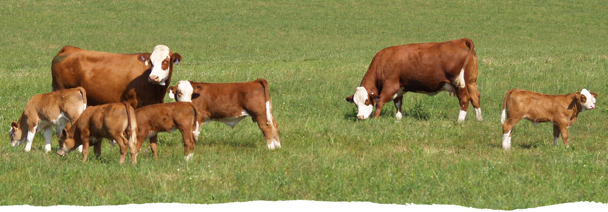 Close up shot of cattle and a few calves roaming the grass at Freedom Run Farm.