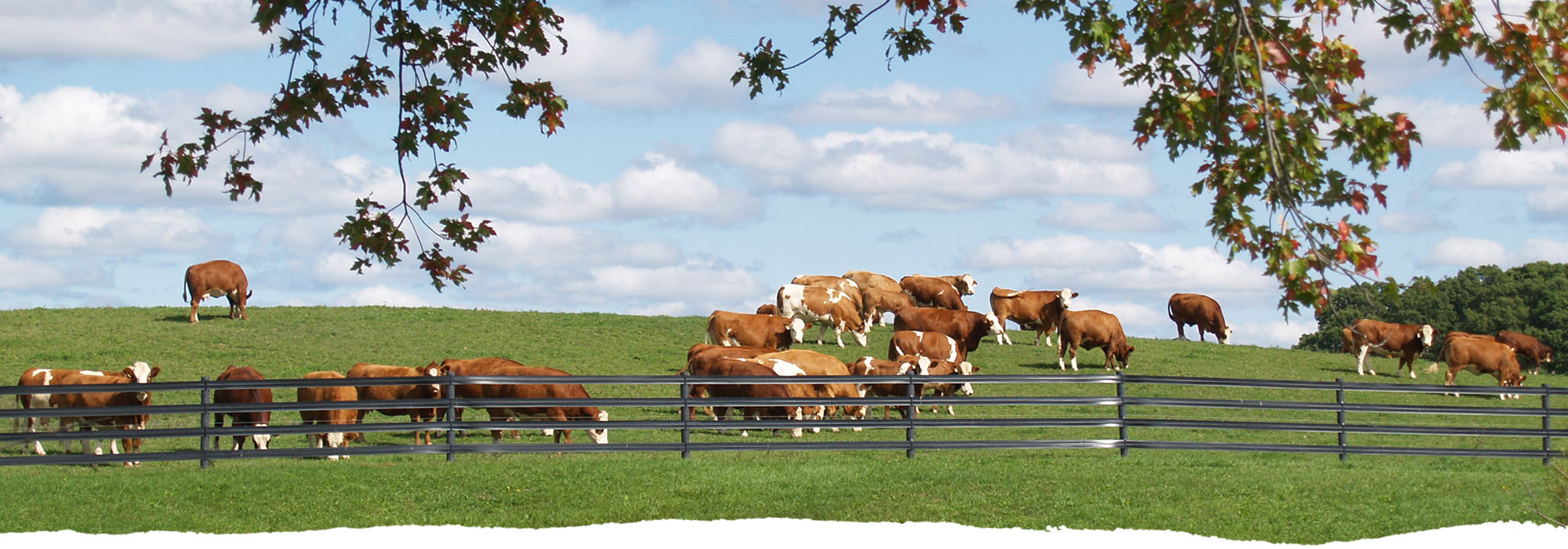 Wide shot of cattle roaming the grass at Freedom Run Farm.